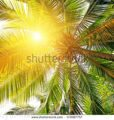 stock-photo-sunlight-through-the-leaves-of-palm-trees-172087757
