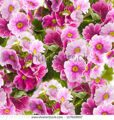 stock-photo-a-spring-primrose-is-in-a-bouquet-floral-background-117628957