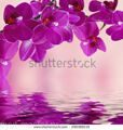 stock-photo-close-up-of-pink-orchid-phalaenopsis-bouquet-of-flowers-orchids-reflected-in-water-29038