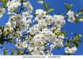 stock-photo--photographed-flowers-white-cherry-blossoms-spring-season-322888703
